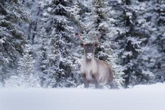 A lone caribou stares into the camera with a snowy foreground and pine forest background