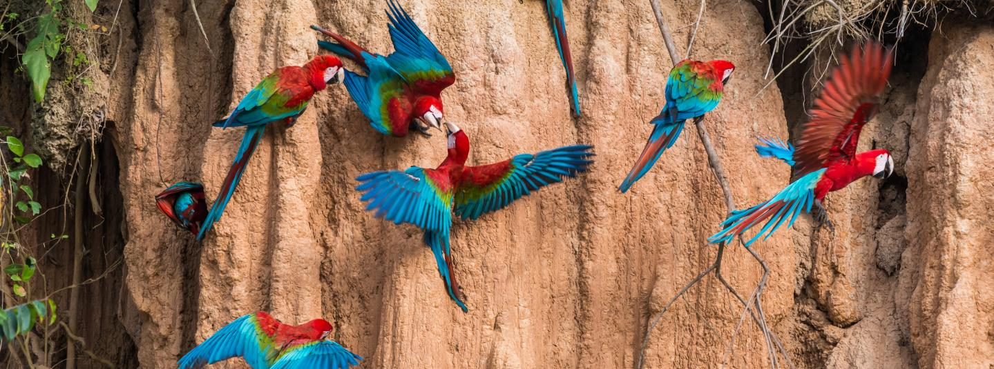 A group of scarlet macaws flock on the side of a rock wall