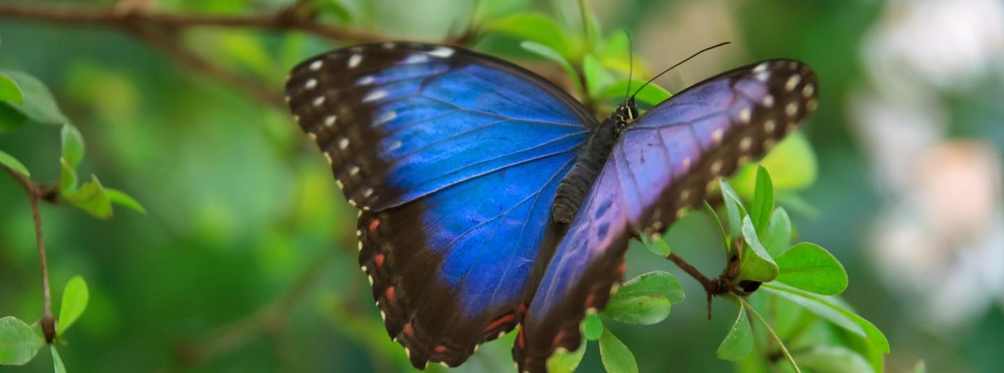 blue butterfly on a green branch with its wings spread