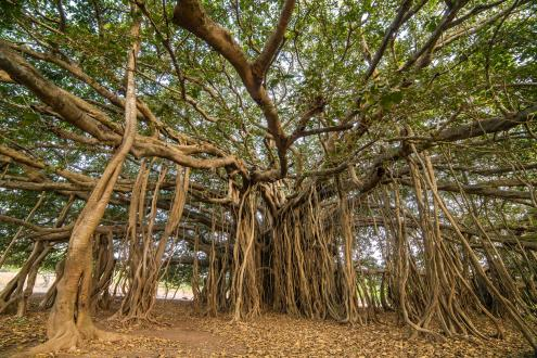 Banyan tree natural