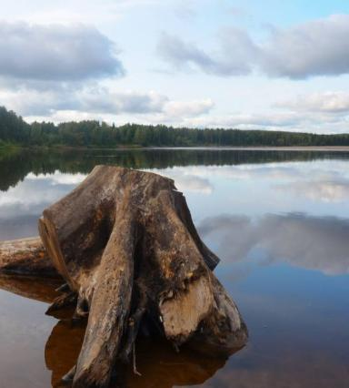 A tree stump located in a river near the bank with line of trees in background