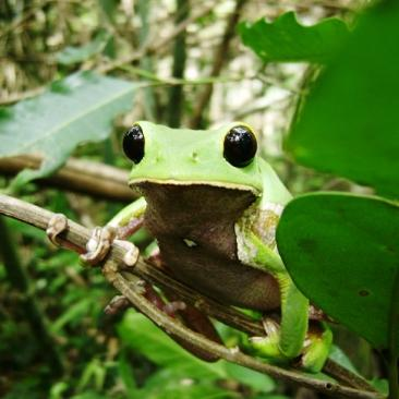a green tree frog perched on a tree branch with green leaves around it
