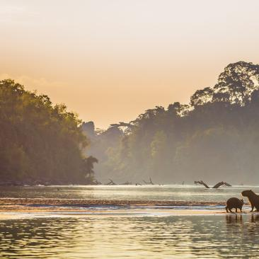 Capybaras chilling in a river in the evening sunlight with a rainforest in the background